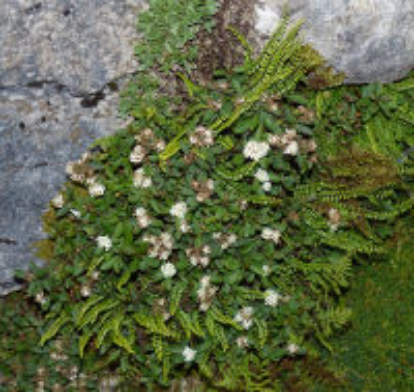 Spiraea decumbens W.D.J.Koch subsp. tomentosa (Poech) Dostál