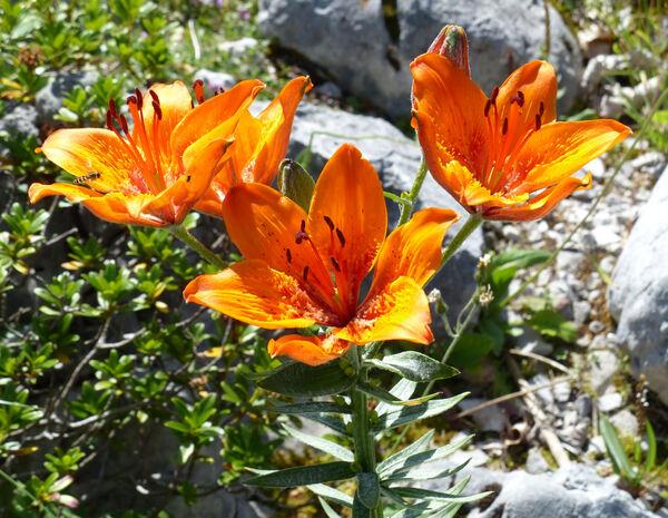 Lilium bulbiferum L. subsp. bulbiferum