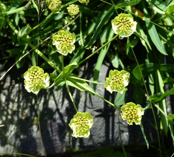 Bupleurum ranunculoides L. subsp. ranunculoides