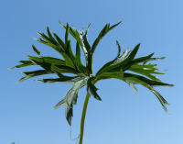 Aconitum lycoctonum L. emend. Koelle subsp. vulparia (Rchb. ex Spreng.) Nyman