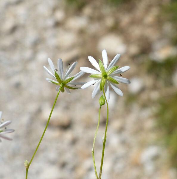 Stellaria graminea L.