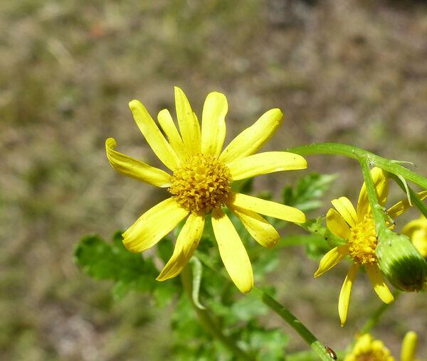 Senecio squalidus L. subsp. rupestris (Waldst. & Kit.) Greuter