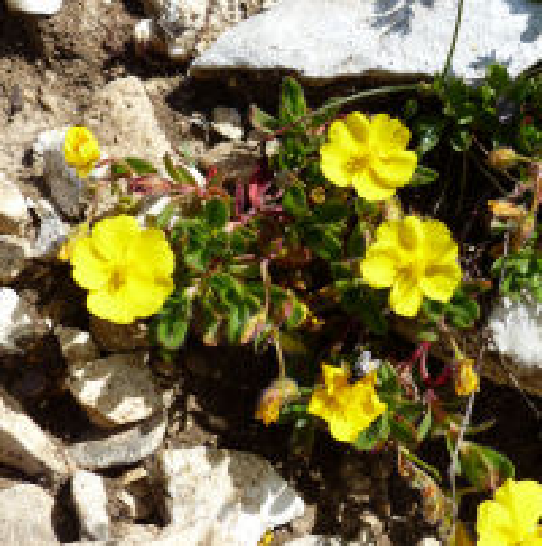 Helianthemum oelandicum (L.) Dum.Cours. subsp. alpestre (Jacq.) Ces.