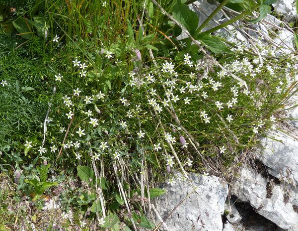 Sabulina austriaca (Jacq.) Rchb.