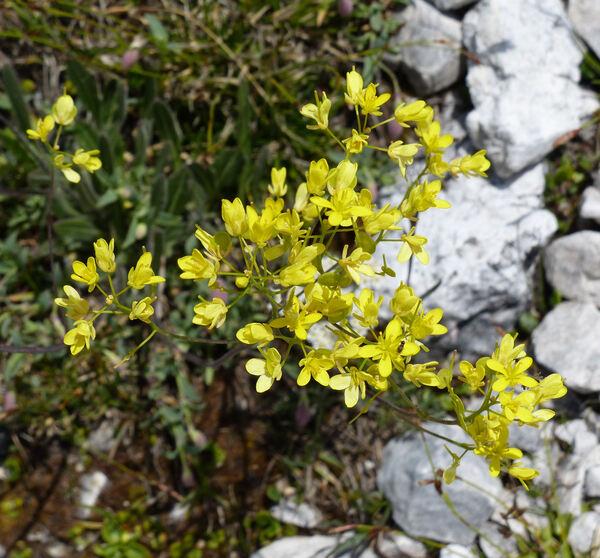 Biscutella laevigata L. subsp. laevigata