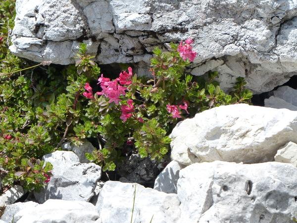 Rhododendron hirsutum L.