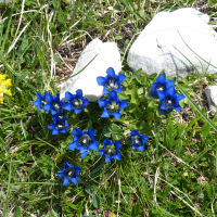 Gentiana clusii E.P.Perrier & Songeon