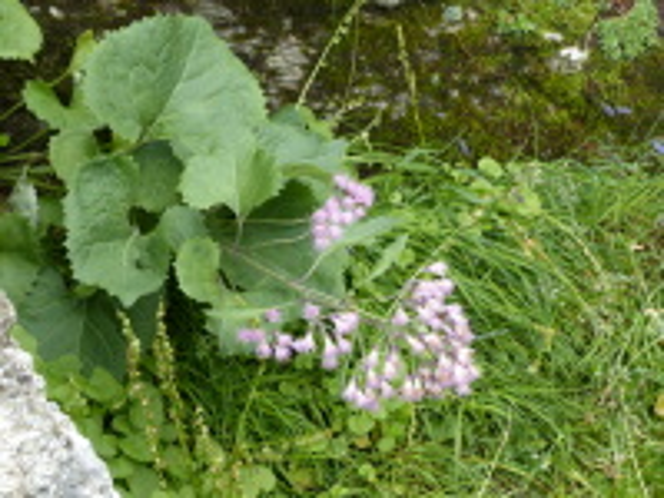 Adenostyles leucophylla (Willd.) Rchb.