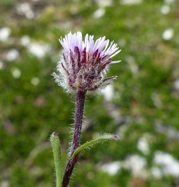Erigeron neglectus A.Kern.