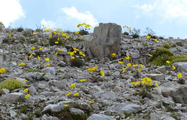 Papaver alpinum L. subsp. rhaeticum (Leresche) Markgr.