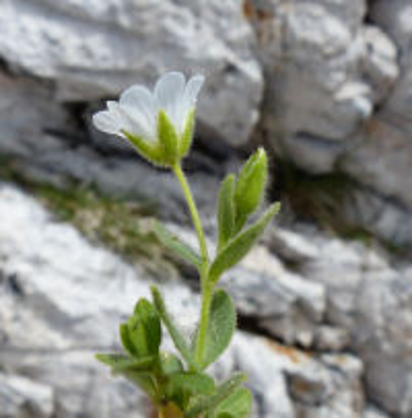 Cerastium uniflorum Clairv.