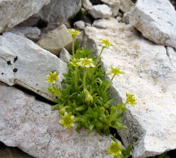 Saxifraga sedoides L. subsp. sedoides