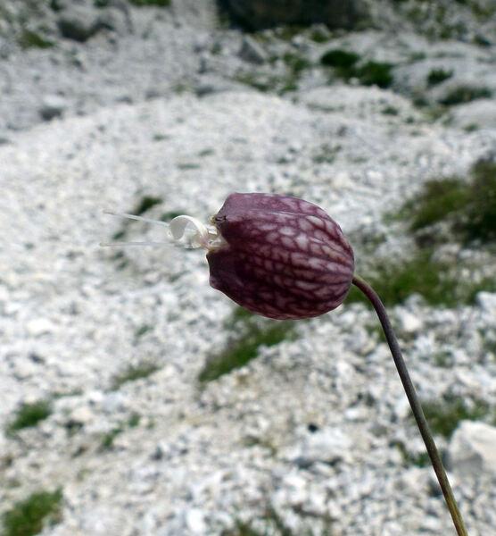 Silene vulgaris (Moench) Garcke subsp. glareosa (Jord.) Marsden-Jones & Turrill