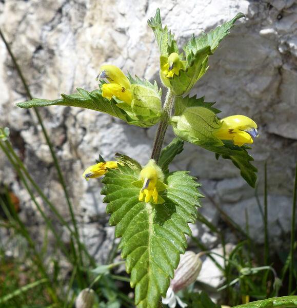 Rhinanthus alectorolophus (Scop.) Pollich subsp. alectorolophus