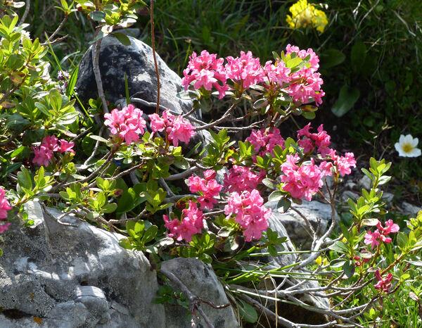 Rhododendron x intermedium Tausch