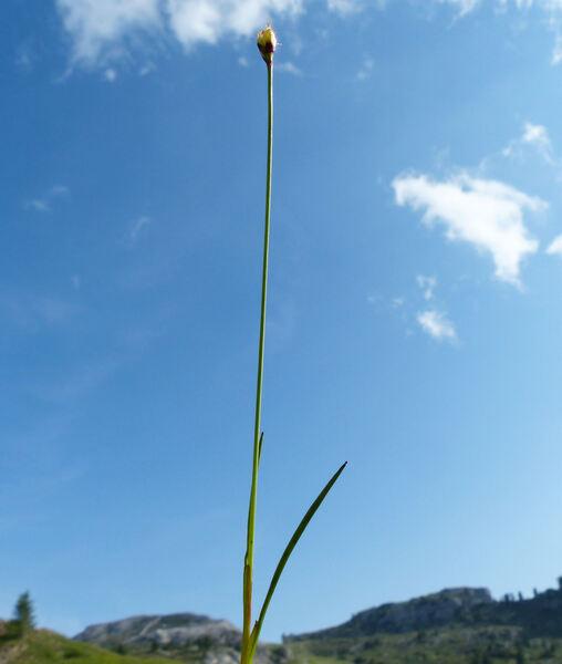 Juncus triglumis L. subsp. triglumis