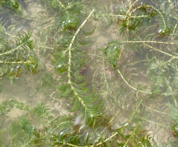 Groenlandia densa (L.) Fourr.