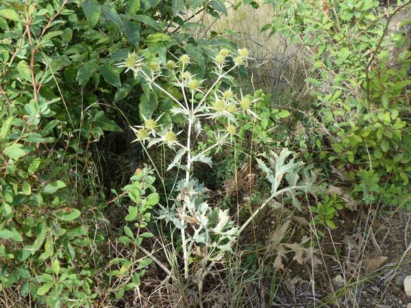 Eryngium campestre L.