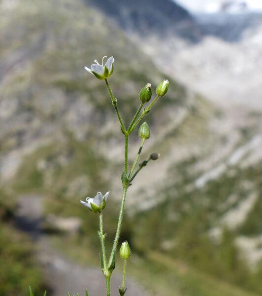 Sabulina verna (L.) Rchb. subsp. verna