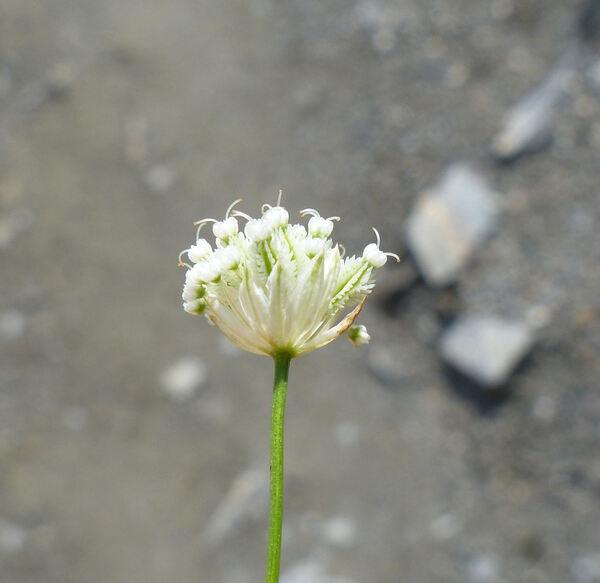 Astrantia minor L.