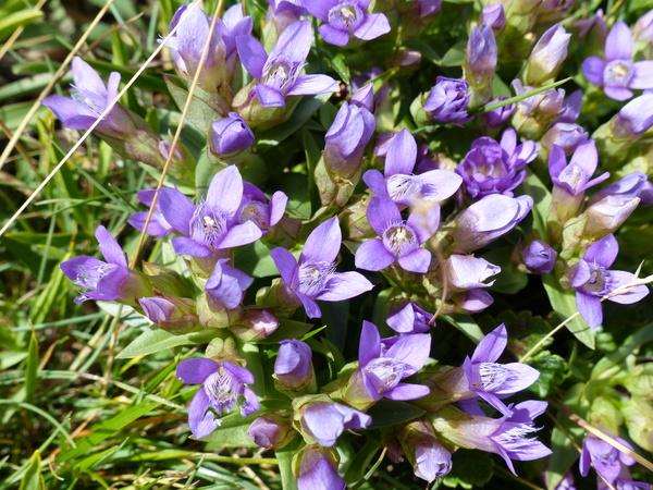 Gentianella campestris (L.) Börner subsp. campestris