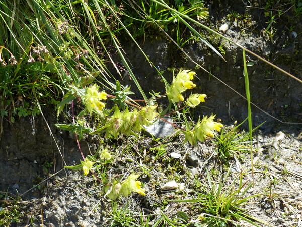 Rhinanthus ovifugus Chabert