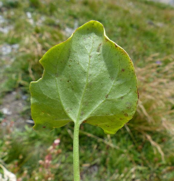 Rumex scutatus L. subsp. scutatus