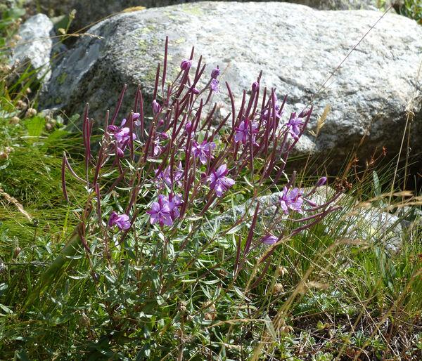 Chamaenerion fleischeri (Hochst.) Fritsch