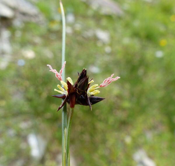 Oreojuncus trifidus (Jacq.) Záv.Drábk. & Kirschner