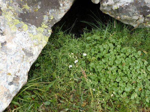 Cerastium arvense L. subsp. suffruticosum (L.) Ces.