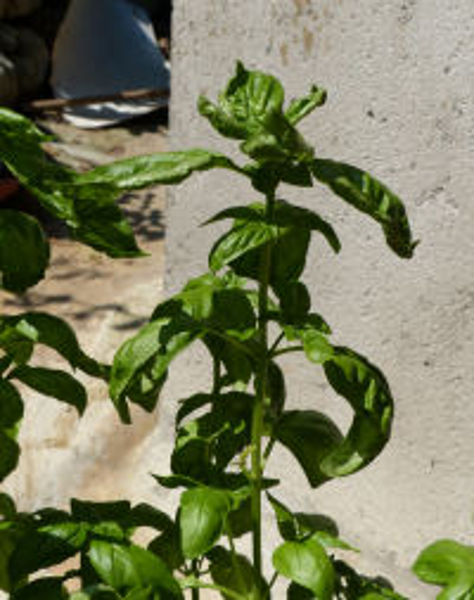 Ocimum basilicum L.