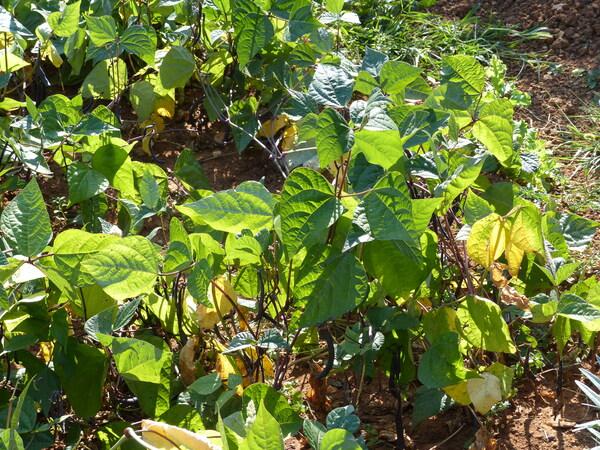 Phaseolus vulgaris L. 'Purple Queen'