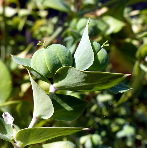 Euphorbia lathyris L.
