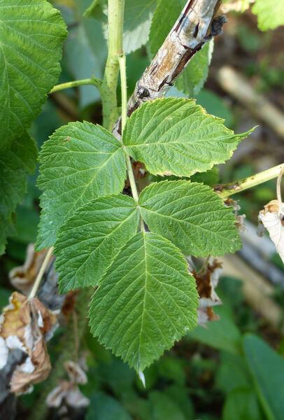 Rubus idaeus L. subsp. idaeus