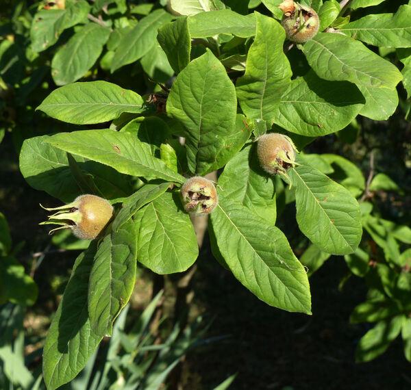 Mespilus germanica L.