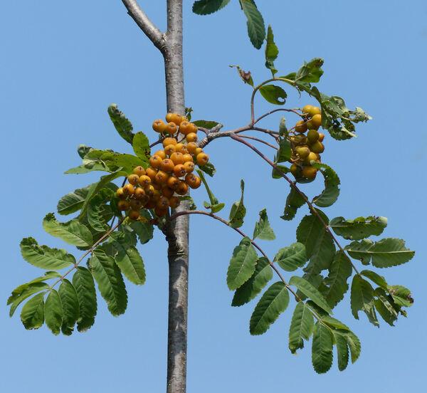 Sorbus aucuparia L. 'Xanthocarpum'