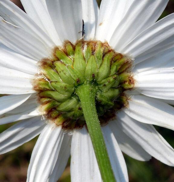 Leucanthemum ×superbum (Bergmans ex J.W.Ingram) D.H.Kent