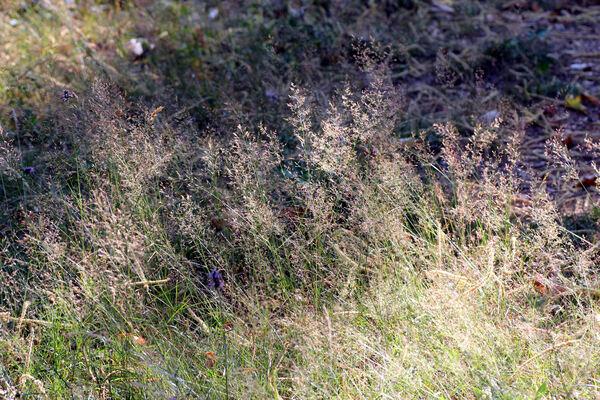 Agrostis stolonifera L. subsp. stolonifera