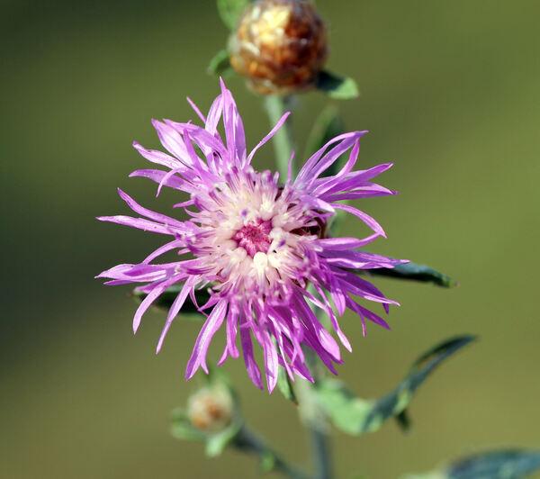 Centaurea jacea L.