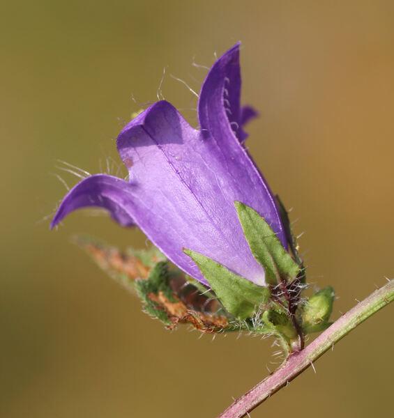 Campanula trachelium L. subsp. trachelium