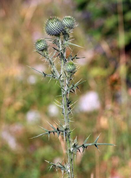 Cirsium vulgare (Savi) Ten. subsp. vulgare