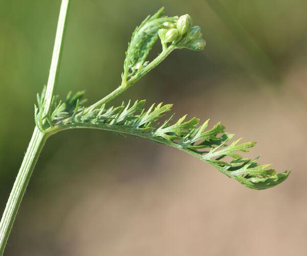 Achillea millefolium L. subsp. millefolium