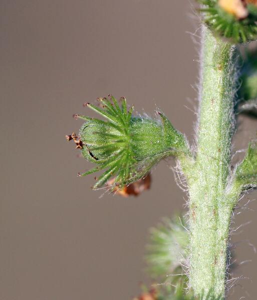 Agrimonia eupatoria L. subsp. eupatoria