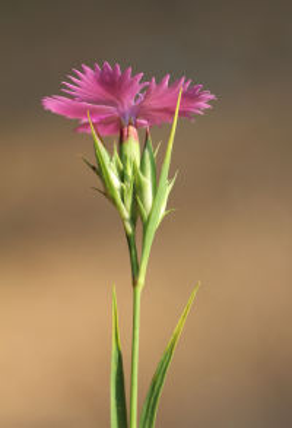 Dianthus sylvestris Wulfen subsp. sylvestris