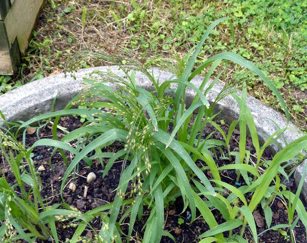 Panicum miliaceum L.