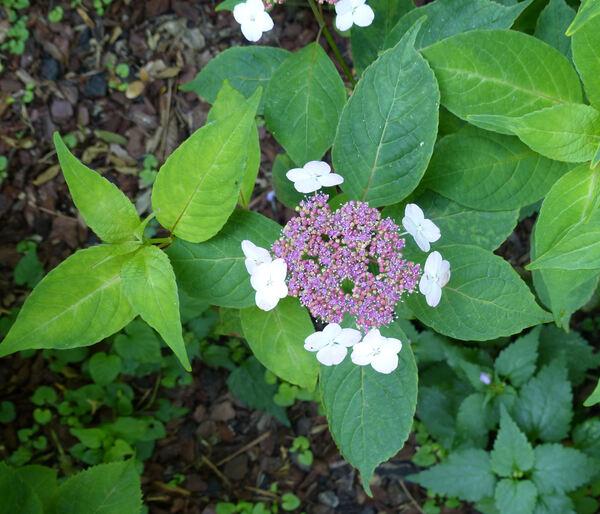 Hydrangea serrata (Thunb.) Ser. 'Chinensis'