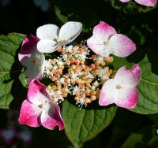 Hydrangea serrata (Thunb.) Ser. 'Kurenai -Yama'