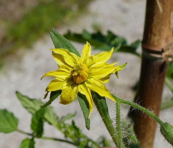 Solanum lycopersicum L. 'Costoluto Fiorentino'