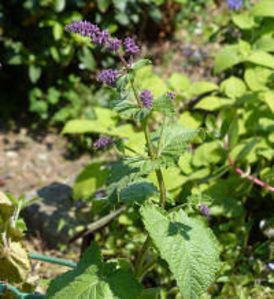 Salvia sp.