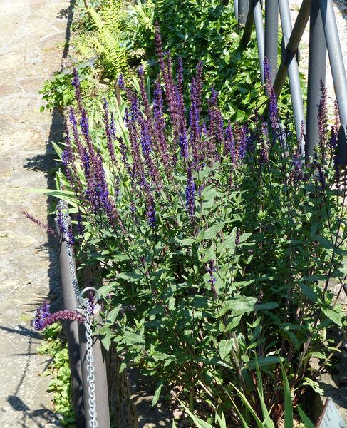 Salvia nemorosa L. 'Caradonna'